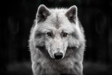 Portrait Of Polar Wolf Handsom...
