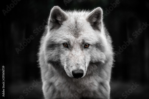 Photo  Portrait of polar wolf handsome young male.