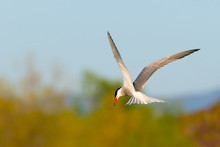 Common Tern, Sterna Hirundo Fl...