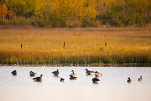 Group Of Canada Geese Wading O...
