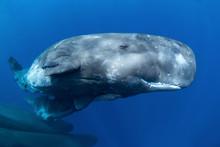 Sperm Whale, Physeter Macrocephalus, Indian Ocean