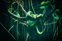 Green Snake Coiled On Tree Branch