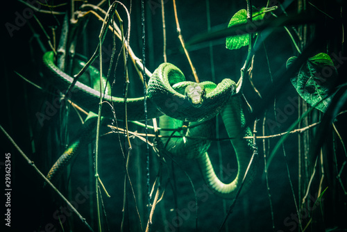 Photographie Green snake coiled on tree branch
