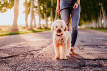 Beautiful Caucasian Woman Walking With Her Cute Brown Poodle On The Road. Pets And Lifestyle Outdoors