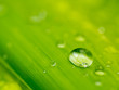 water drop on green .Palm leaf soft focus for background