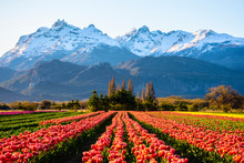 Scene View Of Field Of Tulips ...