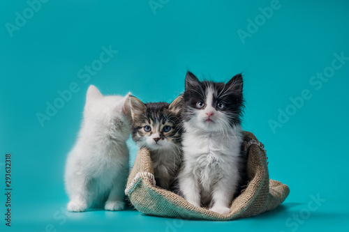 Fotografía two kittens in a sack and one next to the bag on a turquoise background