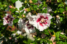 Hibiscus Shrub With Flowers Wi...