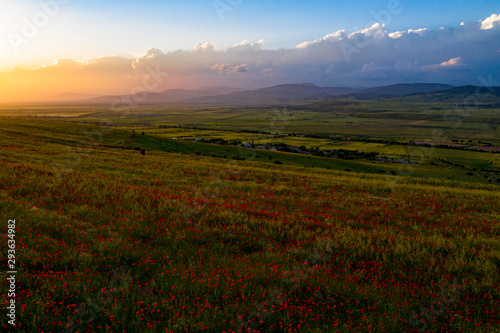 Fototapeta Fields of blooming poppy. Fields and hills are covered with a carpet of wild flowers. Summer 2019, Eastern Georgia, near the town of Gori. Sunset. obraz na płótnie