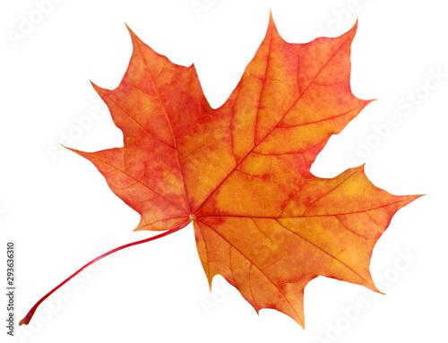 Obraz na plátně autumn maple leaf isolated on white background.