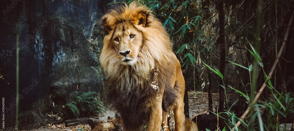 Fototapeta Panoramic shot of a proud old lion walking in the jungle