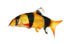 Clown Loach Tiger Botia Catfis...