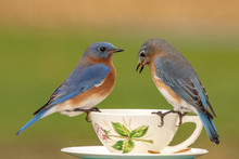 A Pair Of Eastern Bluebirds At A Teacup Feeder On A Dreary Winter Day.