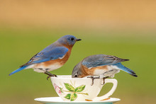 A Pair Of Eastern Bluebirds At...