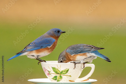 A pair of Eastern Bluebirds at a teacup feeder on a dreary winter day Tablou Canvas