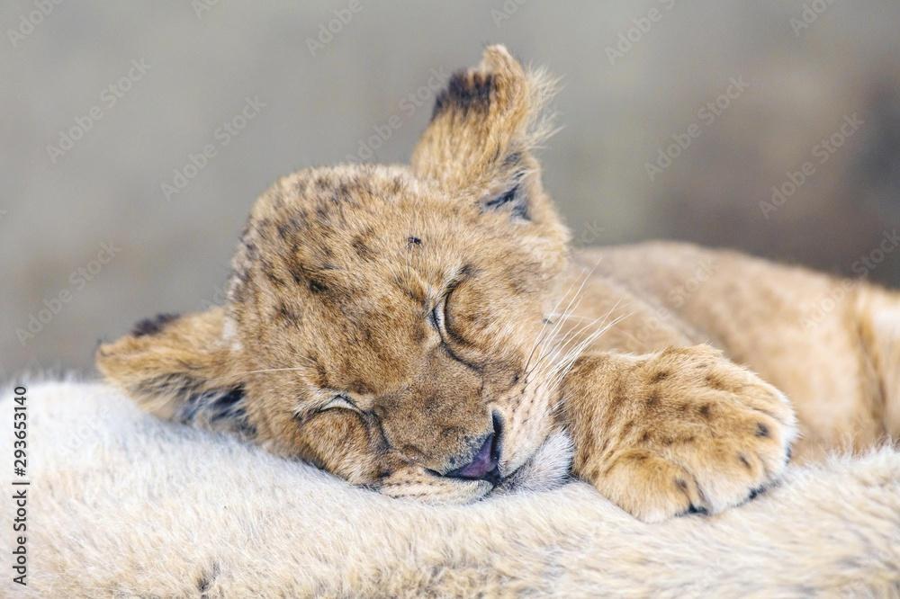 Fototapeta Cub lion sleeping