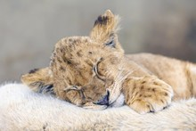 Cub Lion Sleeping