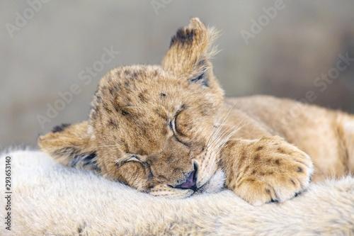 Fotobehang Leeuw Cub lion sleeping