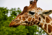 Close-up & Heads Shot Of Giraffe At Whipsnade Zoo In London