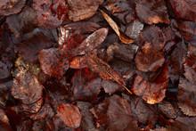Old Wet Autumn Leaves In Dark ...