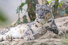 Snow Leopard Posing Well