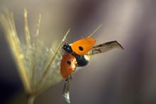 Macrography Of A Ladybug On A ...