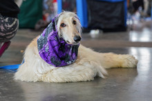 White Russian Borzoi Dog With Violet Scarf Around Neck, Laying On The Stone Floor In Hall, Waiting At Dog Exhibition Competition