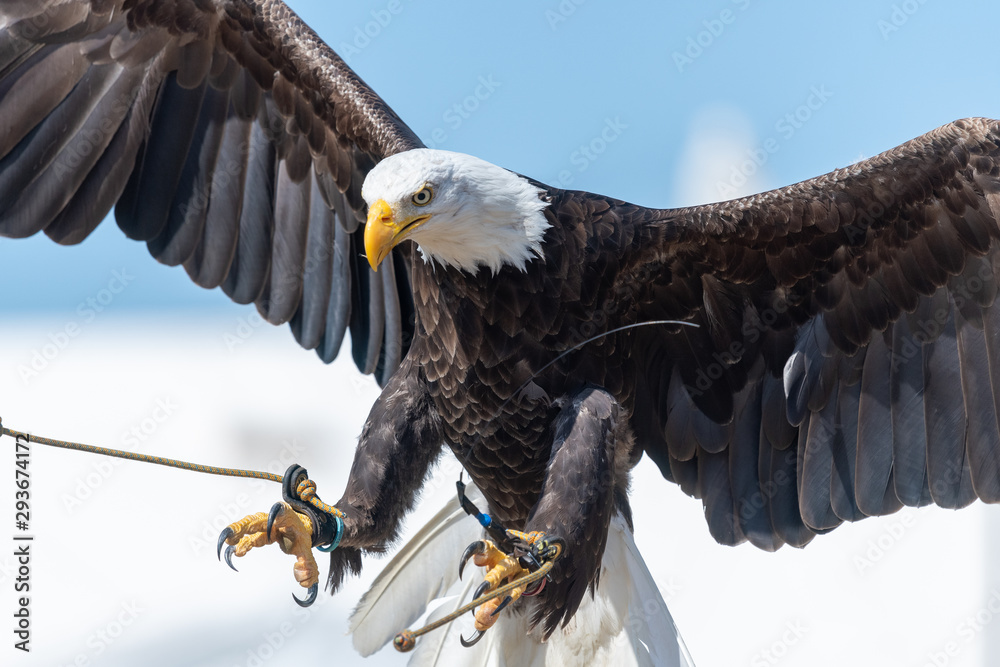 Fototapeta Close up of a bald eagle (haliaeetus leucocephalus) flying in a falconry demonstration.