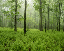 Green Forest In Fog With Ferns