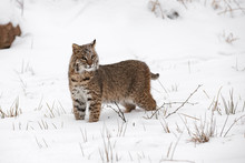 Bobcat (Lynx Rufus) Stands In Snow Looking Out Winter