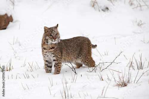 Obraz na plátne Bobcat (Lynx rufus) Stands in Snow Looking Out Winter