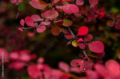 Photo Young bush of barberry tunberg, red leaves in the autumn park.