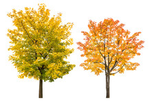Maple Tree Autumn Isolated Whi...