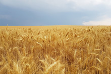 Wheat Field Before Storm