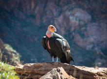 California Condor In The Grand Canyon