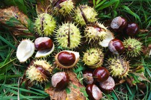 Brown Horse Chestnuts - Aesculus Hippocastanum, Conker Tree Ripened Fruits Inside Skin On The Ground.