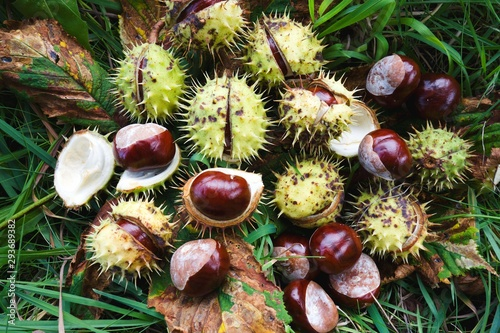 Brown horse chestnuts - aesculus hippocastanum, conker tree ripened fruits inside skin on the ground Canvas Print