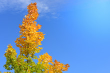 Bright Yellow Red And Green Maple Branches In Autumn In Front Of Blue Sky With Space For Text