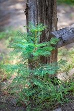 Young Pine Tree Growing By A F...