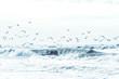 canvas print picture - Viele Möwen fliegen über der Gischt der Nordsee