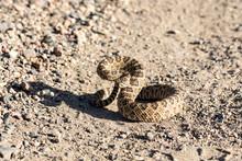 Angry Coiled Rattlesnake In Ne...