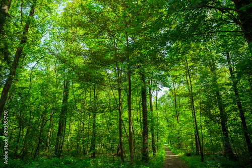 Photo sur Toile Pays d Europe forest trees. nature green wood