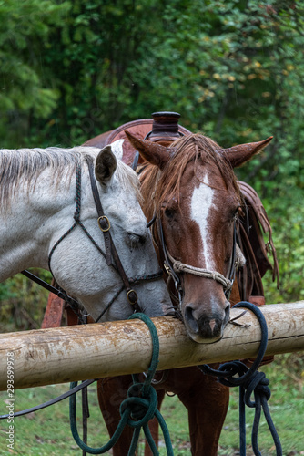 Two horses saddled and bridled up and taking a break from a trail ride, tied up to wood hitching posts in the rain