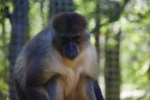 Allen's Swamp Monkey Allenopit...