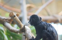 Goeldi's Monkey Pearched On Tree Branch Ready To Jump. Callimico Goeldi Is A Tiny Squirrel-like Monkey
