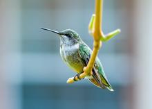 Ruby-throated Hummingbird - .A...