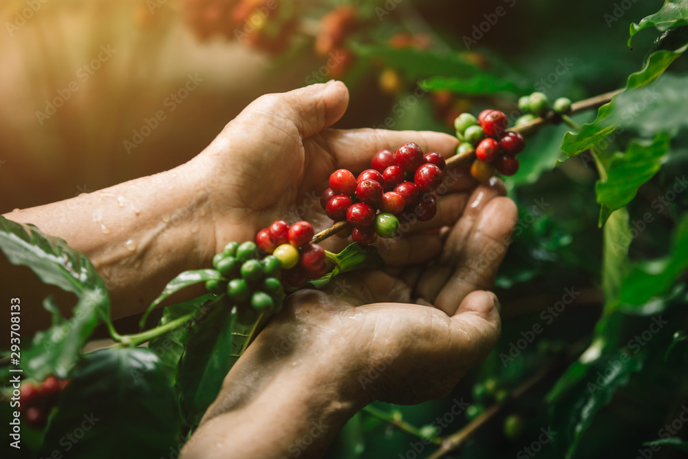 Fototapety, obrazy: [coffee berries] Close-up arabica coffee berries with agriculturist hands