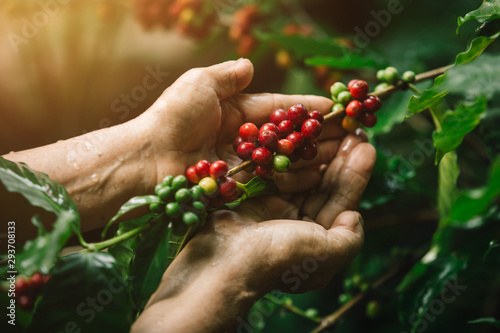 Photo [coffee berries] Close-up arabica coffee berries with agriculturist hands
