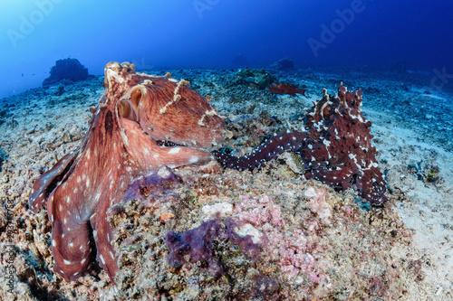 Fotografie, Obraz  Mating octopus