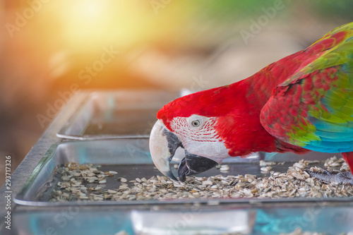 Photo  Red macaw eatting nature food